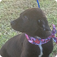 Labrador Retriever/Shepherd (Unknown Type) Mix Dog for adoption in Harrisburg, Pennsylvania - Ralphie