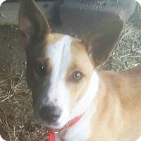 Adopt A Pet :: Josie - Preston, CT