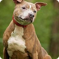 American Staffordshire Terrier/American Pit Bull Terrier Mix Dog for adoption in Cincinnati, Ohio - Brooklyn $14