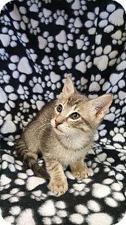 Domestic Shorthair Kitten for adoption in Houston, Texas - KEEGAN