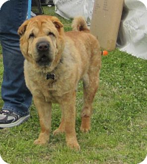 Shar Pei Dog for adoption in Houston, Texas - Riddles