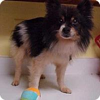 Adopt A Pet :: Fluffy - 12 lbs - Dahlgren, VA