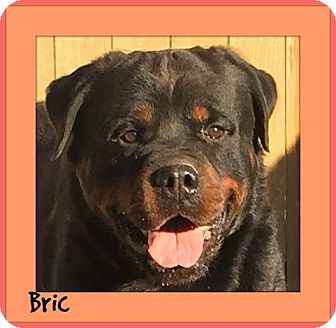 Rottweiler Mix Dog for adoption in Memphis, Tennessee - Bric