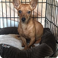 Chihuahua Mix Dog for adoption in San Antonio, Texas - Dodger