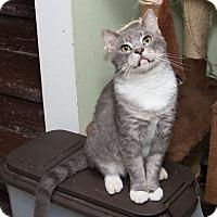 Domestic Shorthair Cat for adoption in Chicago, Illinois - Caesar