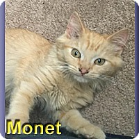 Domestic Mediumhair Kitten for adoption in Aldie, Virginia - Monet