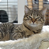 Domestic Shorthair Cat for adoption in Michigan City, Indiana - Sammy