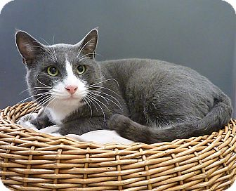 Russian Blue Cat for adoption in Pasadena, Texas - Bruno