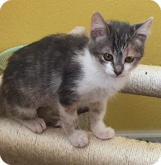 Domestic Shorthair Kitten for adoption in Alamo, California - Sophie