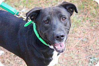 Labrador Retriever Dog for adoption in Ruston, Louisiana - Geneviève
