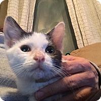 Adopt A Pet :: Princess Leia - Rochester, MN