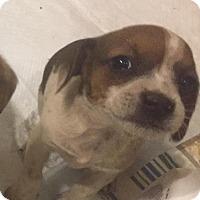 Adopt A Pet :: Sierra - Charlotte, NC