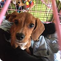 Adopt A Pet :: Dash - San Diego, CA