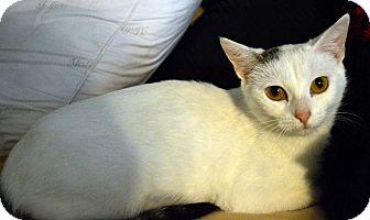 Domestic Shorthair Cat for adoption in Richmond, Virginia - Turk
