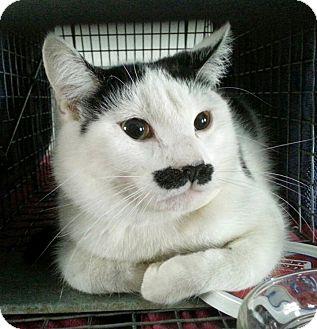 Domestic Shorthair Cat for adoption in N. Billerica, Massachusetts - Stachshe