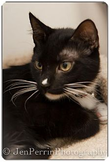 Domestic Shorthair Cat for adoption in Houston, Texas - Karlton