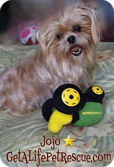 Wellington Fl Shih Tzu Meet Jojo A Dog For Adoption