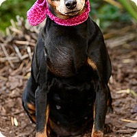 Miniature Pinscher/Beagle Mix Dog for adoption in Rancho Palos Verdes, California - Adelaide