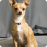 Chihuahua Dog for adoption in Crescent, Oklahoma - Pinkie