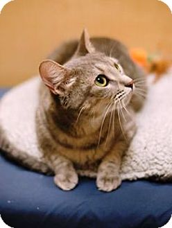 Domestic Shorthair Cat for adoption in Tampa, Florida - Sweetie