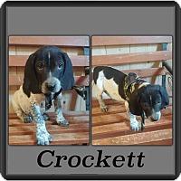 Adopt A Pet :: Crocket-pending adoption - Manchester, CT
