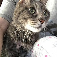 Domestic Mediumhair Cat for adoption in Los Angeles, California - Too Much Sugar Ray