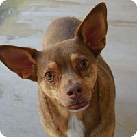 Adopt A Pet :: Koda - Wickenburg, AZ