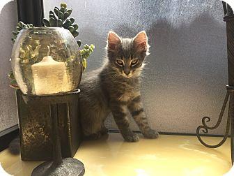 Domestic Longhair Kitten for adoption in Montclair, California - Sammy