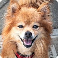 Pomeranian Dog for adoption in St Helena, California - Duncan