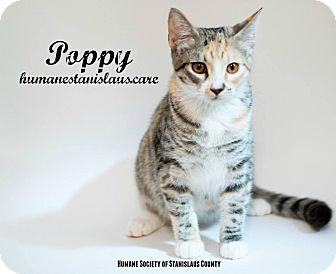Domestic Shorthair Kitten for adoption in Modesto, California - Poppy