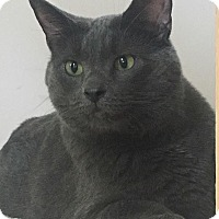 Domestic Shorthair Cat for adoption in Barrington Hills, Illinois - Natia