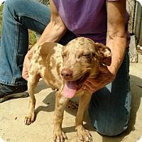Adopt A Pet :: Brawny - Alexandria, VA