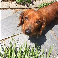Dachshund Dog for adoption in Decatur, Georgia - Tulley