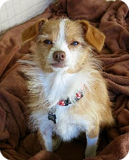 Terrier (Unknown Type, Small)/Italian Greyhound Mix Dog for adoption in Los Angeles, California - Hermione