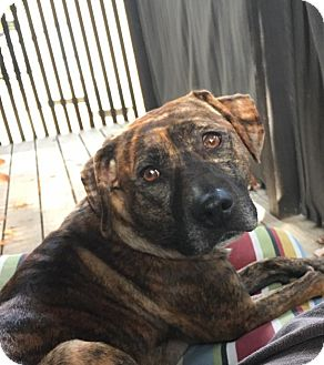 Plott Hound Mix Dog for adoption in Alpharetta, Georgia - Alesha