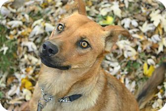 Shiba Inu/Chow Chow Mix Dog for adoption in Springfield, Missouri - Copper