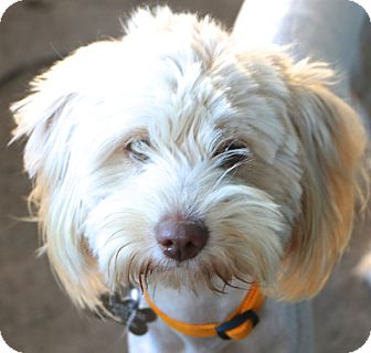 Tibetan Terrier Mix Dog for adoption in Woonsocket, Rhode Island - Allegra