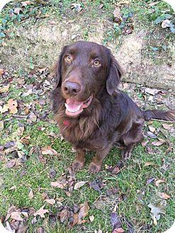 Boykin Spaniel Dog for adoption in Boston, Massachusetts - Elvis