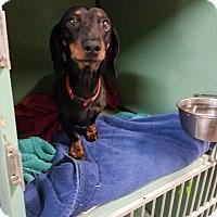 Adopt A Pet :: Captain - Lubbock, TX