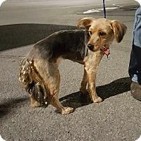 Adopt A Pet :: Molly - Loudonville, NY