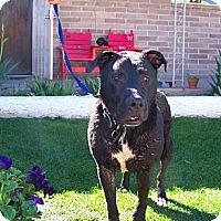 Adopt A Pet :: Suzy Q - Glendale, AZ
