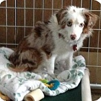 Adopt A Pet :: Olivia - South Amboy, NJ