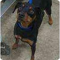 Adopt A Pet :: Trouper - Florissant, MO