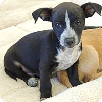 Adopt A Pet :: WallE - La Habra Heights, CA