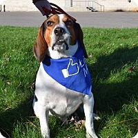 Beagle Dog for adoption in Washington, Pennsylvania - Buddy