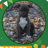 Adopt A Pet :: Brewer - Groveland, FL