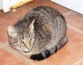 Domestic Shorthair Cat for adoption in Ashland, Ohio - Emma