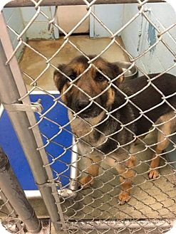 Shepherd (Unknown Type)/Hound (Unknown Type) Mix Dog for adoption in Evansville, Indiana - Xena