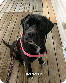 Cane Corso/Labrador Retriever Mix Dog for adoption in Columbus, Ohio - Lizzie
