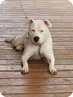 American Pit Bull Terrier Dog for adoption in Des Moines, Iowa - Maggie